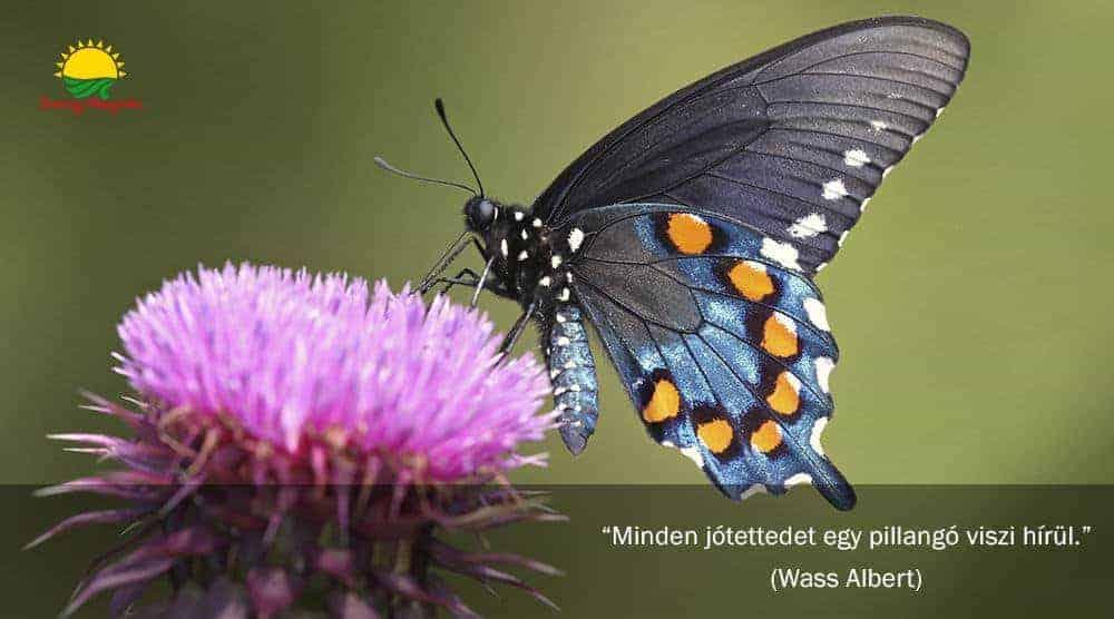 Pillangók és bogáncsok