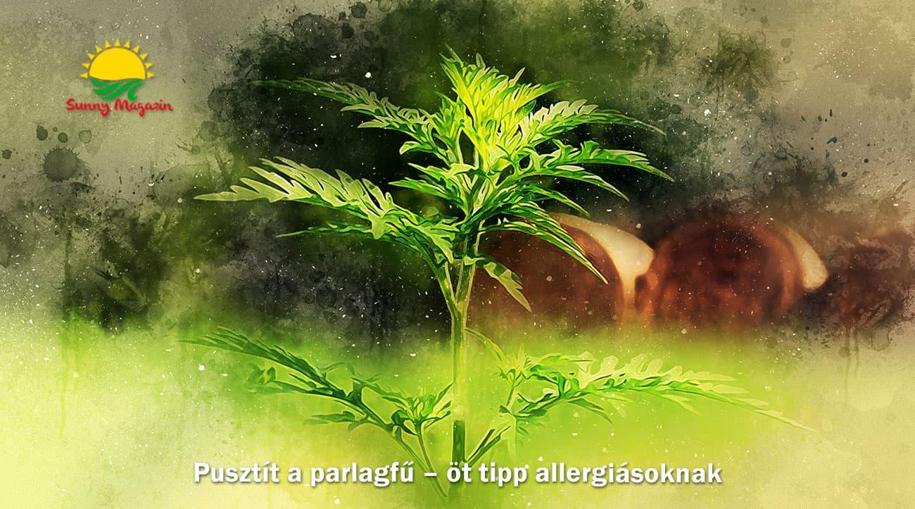 Pusztít a parlagfű – öt tipp allergiásoknak
